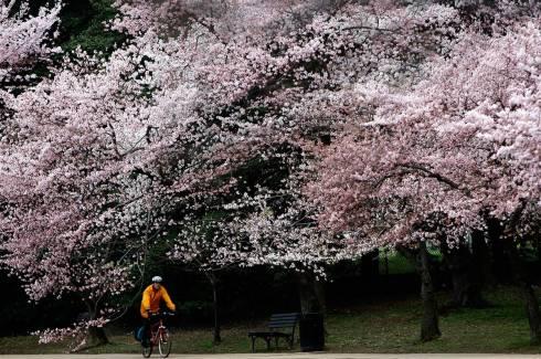 cherry_blossom_festival_dc