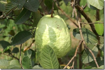 guava_fruit_on_tree