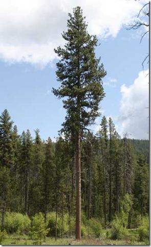 ponderosa-pine-tree