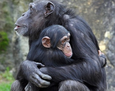 chimps-hugging-why-we-kiss[1]